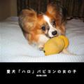 愛犬「ハロ」パピヨンの女の子