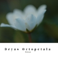 Dryas Octopetala