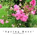 *Spring Rose*
