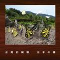 台灣的蝴蝶 日本の蝶