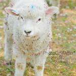 2015.04.29 Sheeeep!