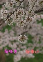 桜咲き 桜舞い