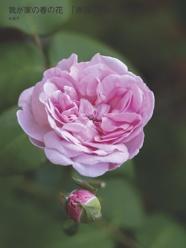 我が家の春の花 「薔薇」令和の始まりに