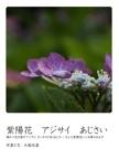 紫陽花 アジサイ あじさい