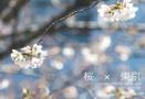 桜 × 東京
