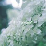 hydrangea*