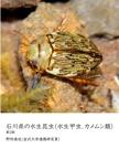 石川県の水生昆虫(水生甲虫、カメムシ類)