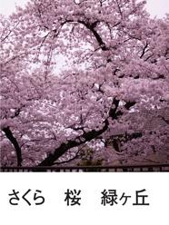 さくら 桜 緑ヶ丘