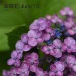 紫陽花 June'15